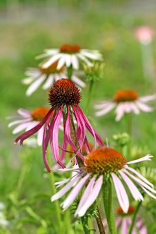 Free Echinacea Purpurea Royalty Free Stock Photo - 4598185
