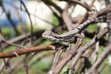 Free Australian Bearded Dragon Lizard Royalty Free Stock Photo - 4598705