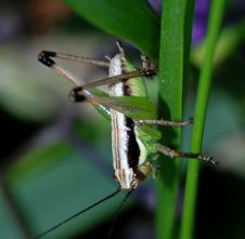 Free Grasshopper Royalty Free Stock Images - 4599659
