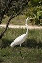 Free White Egret Stock Photos - 460123