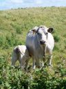 Free Cow And Calf In Field Stock Photography - 464592