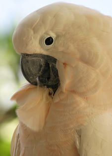 Free Cockatoo Stock Photography - 460072