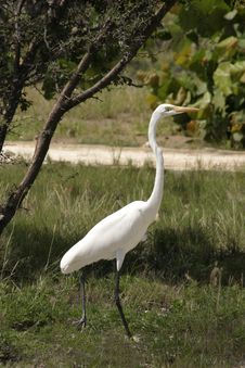 Free White Egret Stock Photos - 460123