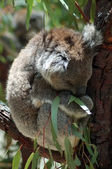 Sleeping Koala Royalty Free Stock Images