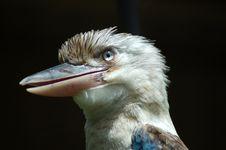 Free Kookaburra Closeup Stock Images - 460134