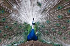 Free Male Peacock Royalty Free Stock Image - 460136