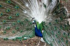 Free Male Peacock (2) Royalty Free Stock Photography - 460137