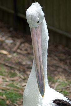 Free Pelican Scratching Royalty Free Stock Images - 460269