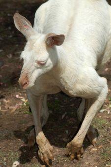 Free Albino Kangaroo Stock Image - 460431