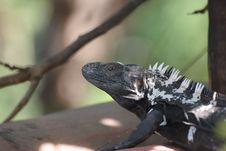 Free Iguana Royalty Free Stock Photo - 461305