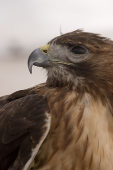Free Hawk In Profile Royalty Free Stock Photo - 461585