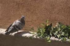 Free Pigeon And Ivy Stock Photos - 461593