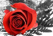 Free Rose Royalty Free Stock Photo - 463265