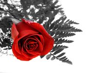 Free Rose Royalty Free Stock Photography - 463267