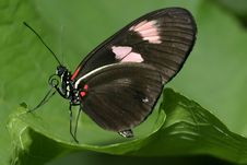 Free Black Butterfly Stock Photo - 463520
