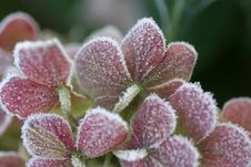 Free Frosty Pink Leaves Royalty Free Stock Photos - 464268
