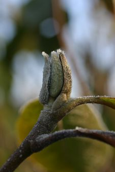 Free Frozen Bud Royalty Free Stock Images - 464269