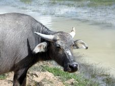 Free Water Buffalo Royalty Free Stock Images - 464449