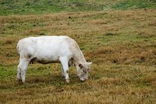 Free Cow Feeding On Grass Royalty Free Stock Images - 464629