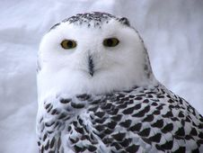 Free Snow Owl Royalty Free Stock Photos - 464788