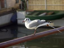 Free Seagull Stock Images - 465404