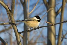 Free Black Capped Chikadee Royalty Free Stock Images - 465439