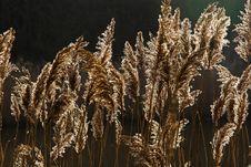 Free Reeds 5480 Stock Image - 467221
