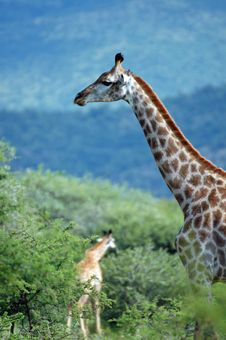 Free Giraffes. Stock Image - 467941