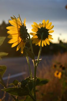 Free Back Of Morning Sunflower Royalty Free Stock Photography - 468847