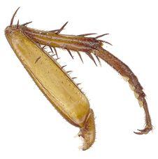 Free Roach Leg Stock Photo - 469590