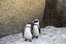 Free African Penguins Love Royalty Free Stock Images - 4602889