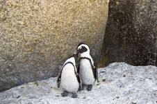 Free African Penguins Love Stock Image - 4602891
