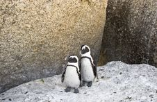 Free African Penguins Stock Images - 4602894