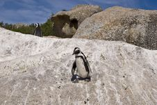 Free African Penguins On Rock Royalty Free Stock Images - 4602909
