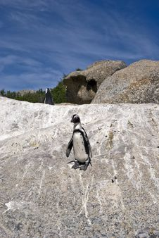Free African Penguins On Rock Royalty Free Stock Photos - 4602928