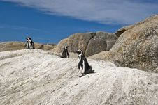 Free African Penguins Stock Photo - 4602930