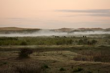 Cows In Morning Fog Stock Photo
