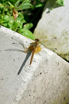 Free Dragonfly Stock Image - 4603141