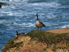 Free Canadian Geese And Surf Stock Image - 4603541