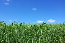 Field Of Green Wheat With Blue Sky . Royalty Free Stock Photos