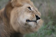 Free Lion Shaking His Head Royalty Free Stock Images - 4603809