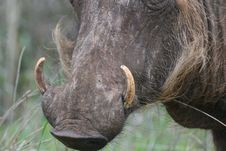 Free Warthog Tusks Kruger National Park South Africa Stock Image - 4603811
