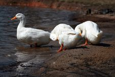 Free White Ducks Royalty Free Stock Images - 4604169