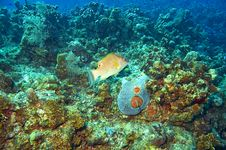 Free Labridae Hogfish And Coral Reef Stock Images - 4604484