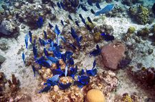 Free School Of Blue Tang Fish And Coral Royalty Free Stock Photo - 4604515