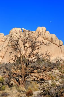 Free Tree And Moon At Joshua Tree Royalty Free Stock Photo - 4605065