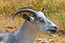 Free Goat Stock Photography - 4606202