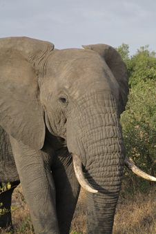 Free Elephant In The Kruger Royalty Free Stock Photography - 4606767