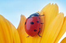 Free Yellow Flower Petal With Ladybug Royalty Free Stock Photo - 4606925