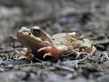 Free Common Frog (Rana Temporaria) Royalty Free Stock Photos - 4606958